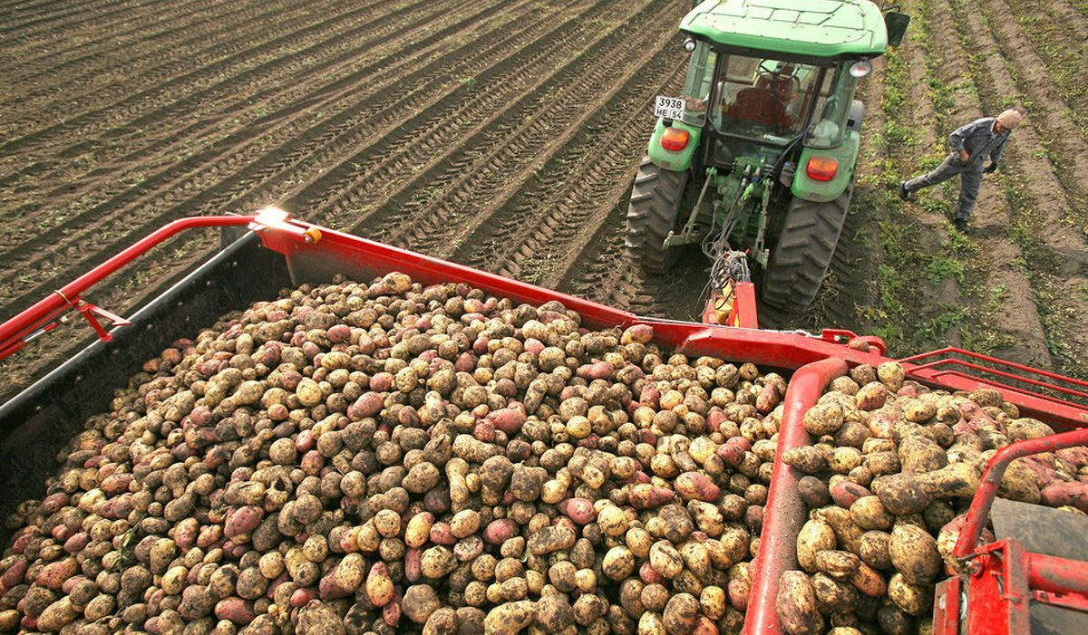 Выращивание картофеля в промышленных масштабах бизнес 66
