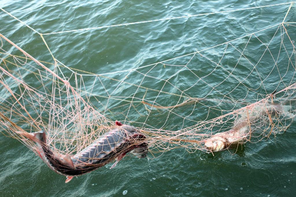 Штрафы за ловлю сетями на волге