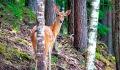 Полсотни благородных оленей заселят в леса Шарковщинского района