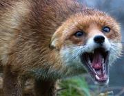 В Витебске обнаружили труп больной бешенством лисы