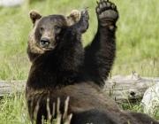 Почему медведи выходят к людям в регионах Витебщины? Мнение эксперта