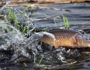 Более 20 тыс. рублей штрафа заплатит браконьер в Шумилинском районе за улов во время нереста