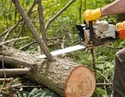 Более 200 не предназначенных для рубки деревьев спилили работники Верхнедвинского лесхоза