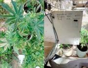 Плантацию марихуаны устроил витебчанин в подвале собственного дома