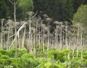Более половины занятых борщевиком площадей в Витебской области относятся к землям сельхозназначения