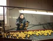 Витебском районе во время сортировки картофеля нашли 250 боеприпасов времен Второй мировой