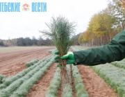 Витебский регион планирует поставлять в Тверскую область саженцы хвойных деревьев