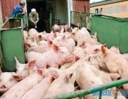 5 ультрасовременных свиноводческих репродукторов построят в Витебской области
