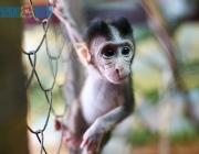 Беби-бум в Витебском зоопарке: камерунские козы и яванские макаки обзавелись потомством