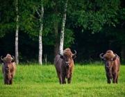 Зубры из Беловежской Пущи поселились в парке «Браславские озера»