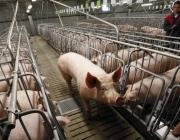 На свинокомплекс по производству беконной свинины в Толочинский район завезли 136 голов