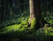 Список деревьев-долгожителей составят в Витебской области