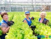 Пытались выращивать даже бананы. Какие урожаи получают энергетики в полоцких теплицах?