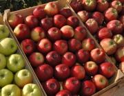 Около 80 тонн яблок по поддельным документам пытались провезти в Россию через белорусскую границу