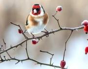 Птицей 2018 года в Беларуси объявлен черноголовый щегол