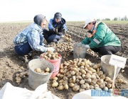 Уборку картофеля в Витебской области завершат за неделю