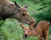 Двоих жителей Браславского района будут судить за незаконную охоту на лосиху и лосенка