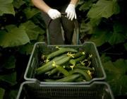Первый урожай огурцов снимают в новых энергосберегающих теплицах в Ореховске