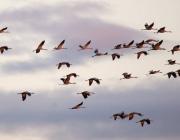 Массовый отлет журавлей наблюдали сотрудники заказника «Ельня»