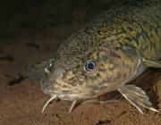 С 25 декабря установлен запрет на лов налима в водоемах Витебщины