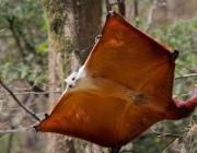 Белка-летяга впервые за 20 лет появилась на Витебщине