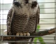 Редкую сову нашли у дороги горожане и принесли в Витебский зоопарк