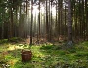 В лесу под Городком умер пенсионер-ягодник