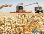 В шаге от миллионной тонны урожая находится Витебская область. Коррективы внесла погода