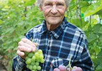 Дачник-экспериментатор под Витебском выращивает виноград в теплицах и арбузы на грядках