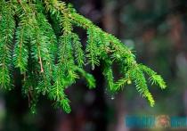 Сколько будут стоить новогодние елки на базарах Витебска?